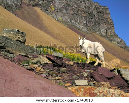 mountain goat in his natural, habitational, climatic, ranging zone.
