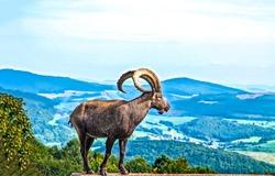 Mountain goat in nature scene
