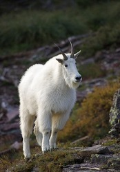 Mountain Goat in rocky alpine habitat, with interesting side-lighting
