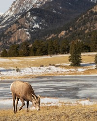 Mountain goat in the high country of the Rockies. Young ram on tan grasses with frozen lake and mountain scene.