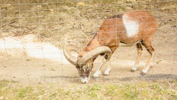 Mountain goat, mountain animal, wild goat, herbivore, beast, carrier, male in prison, captivity, cage, longing, slave, will, goat, horned beast, zoo, farm, beautiful goat