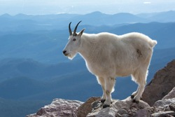 Mountain Goat on Mount Evans, Colorado, USA.