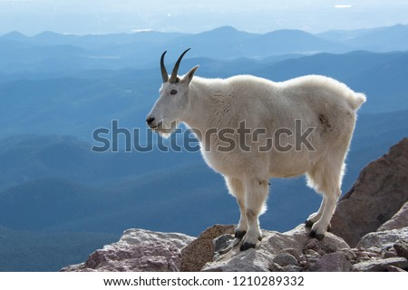 Mountain Goat on Mount Evans, Colorado, USA.  #1210289332