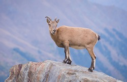 mountain goat on the mountain