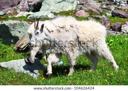 Mountain Goat (Oreamnos americanus) inhabiting the alpine ecosystem of Glacier National Park - Montana