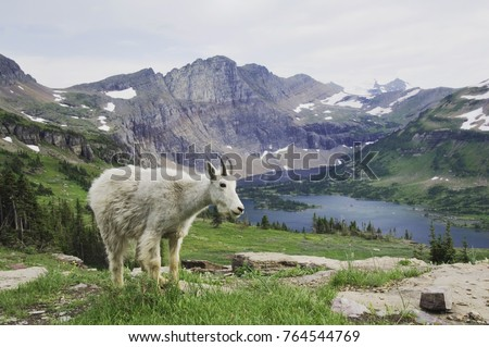 Mountain Goat,Oreamnos americanus, Juvenile shedding winter coat over Hidden Lake,Glacier National Park, Montana, USA, July #764544769