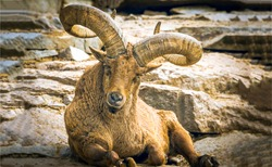 Mountain goat portrait. Goat with big horns