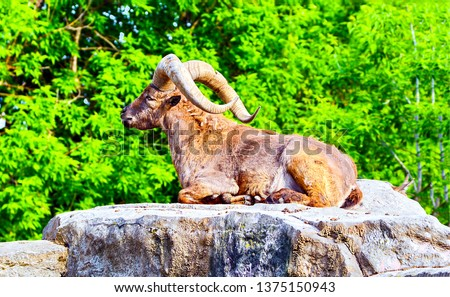 Mountain goat portrait. Mountain goat lying on rock. Big horns of mountain goat. Mountain goat with big horns
