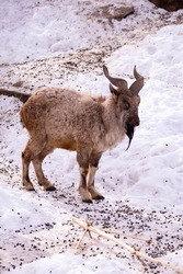 Mountain goat stands on a rock and looks into the distance on a rocky mountain background. big and long beautiful horns