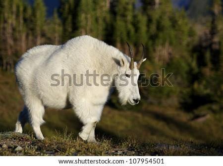 Mountain Goat walking thru classic alpine habitat, in Glacier National Park