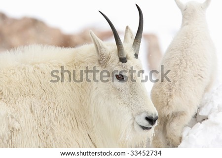 mountain goat with baby in the background