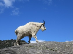 Mountain goat with clear blue sky background