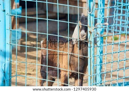 Mountain goat with propelled snout in closed grid of zoo