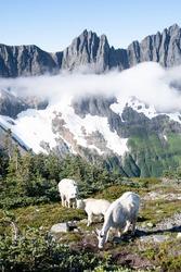 Mountain Goats and Mixup Peak  on the Cascade Pass Sahale Arm Trail.  North Cascades National Park, Washington