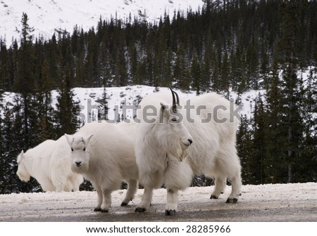 Mountain Goats in Jasper National Park