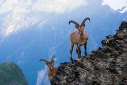 Mountain goats in the Western Caucasus