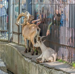 Mountain goats in the zoo communicate with people