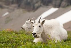 Mountain Goats Resting (Glacier National Park)
