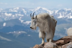 Mountain Goats roaming high in the Rocky Mountains of Colorado USA.These goats can climb the steepest most jagged rock faces in the world.