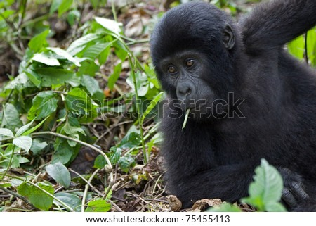 Mountain gorilla looking amused like a cool dude. Member of the Nkoringo family.