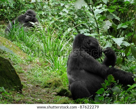 Mountain Gorillas in the cloud forest of Uganda (Africa)