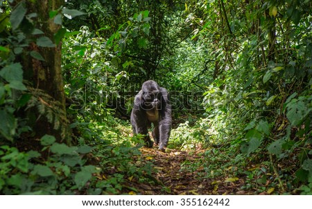 Mountain gorillas in the rainforest. Uganda. Bwindi Impenetrable Forest National Park. An excellent illustration.