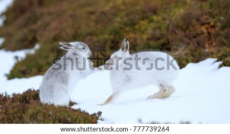 mountain hare boxing #777739264