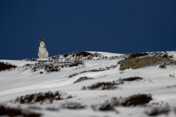 mountain hares, Lepus timidus, wide environmental shots taken on a mountain slope during march with snow lying with background displaying habitat within the cairngorms national park, Scotland.