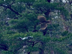 Mountain hawk-eagle (Kumataka) is flying calmly over pine tree forest