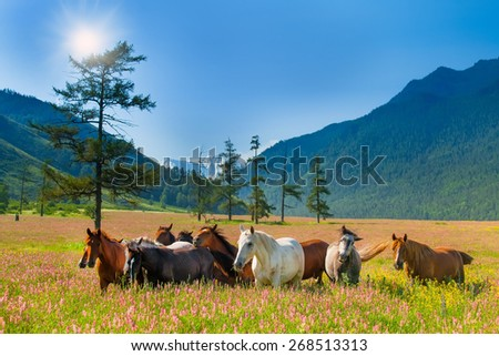 Mountain landscape with grazing herds of horses on a flowering meadow #268513313