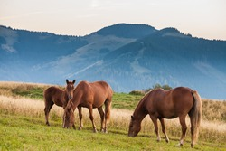Mountain landscape with grazing horses, Ukraine,  animals