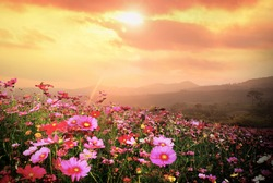Mountain landscape with Magic pink Cosmos flowers in blooming with sunset background.
