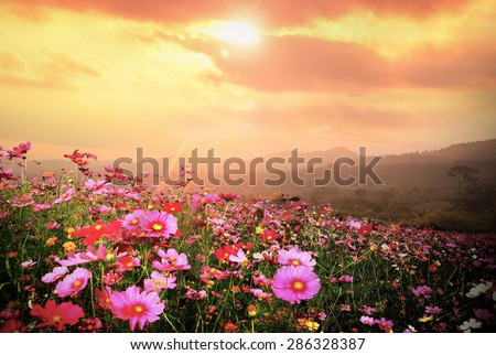 Mountain landscape with Magic pink Cosmos flowers in blooming with sunset background. #286328387