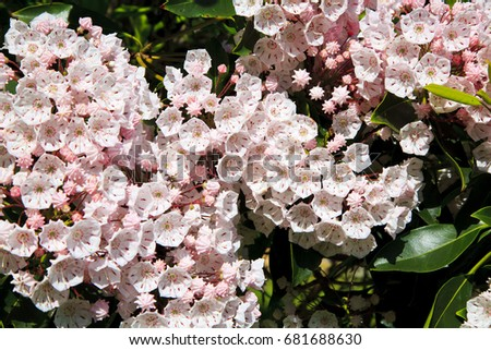Mountain Laurel #681688630