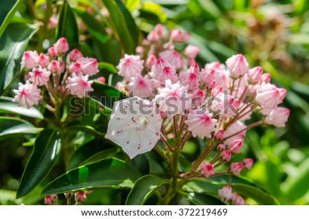 Mountain laurel bloom along the Blue Ridge Parkway in mid June #372219469