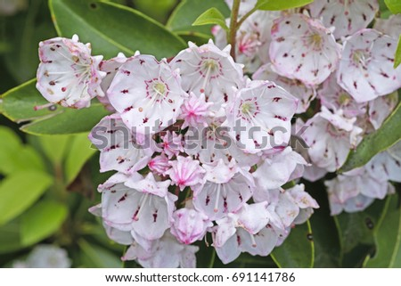 Mountain Laurel in Bloom along the Blue Ridge Parkway in North Carolina #691141786