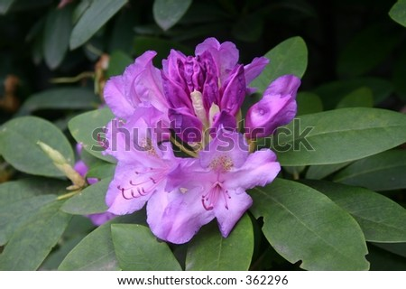 Mountain Laurel single bloom