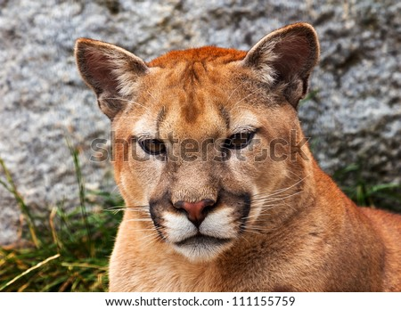 Mountain Lion Closeup Head, Cougar, Puma Concolor Predator, on Rocky Mountain