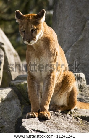 Mountain Lion Cougar Looking for Prey.  The Mountain Lion is a hunter and is always looking for movement to go after.