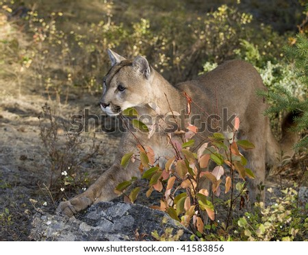 Mountain lion, cougar, or puma (felis concolor or puma concolor) stands with paw extended amidst fall color foliage in western North America.