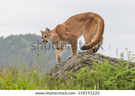mountain lion, cougar, puma on a rocky ledge with mountains in the background
