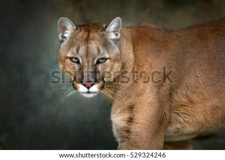 Mountain lion , cougar, puma portrait in motion on dark background
