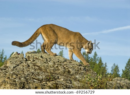Mountain Lion (felis concolor or puma concolor) walks along a mountain ridge.
