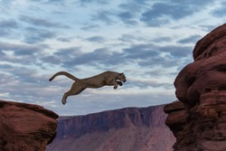 Mountain Lion Jumping Morning Sky