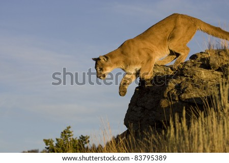 Mountain Lion Jumps from vantage point