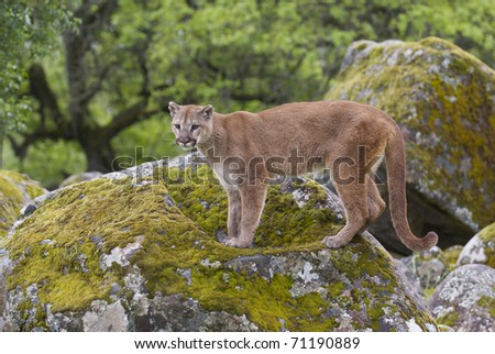 Mountain Lion on moss covered rocks during spring time