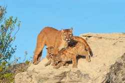 Mountain lion protects her young