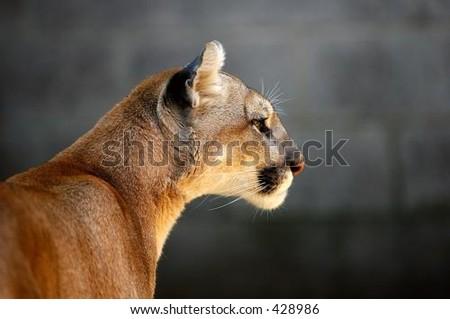 Mountain Lion (Puma Concolor) Head of a captive Mountain Lion
