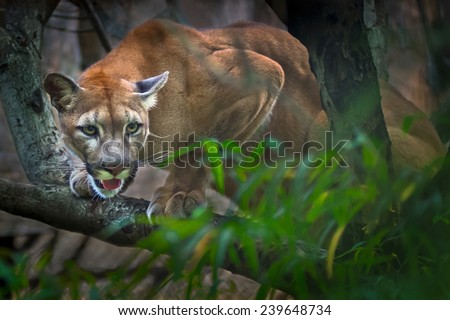 Mountain Lion- Puma - Cougar in tree #239648734