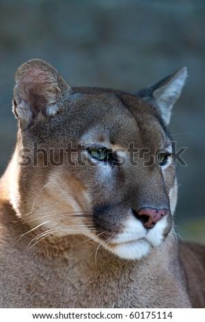 Mountain lion - puma - cougar portrait.